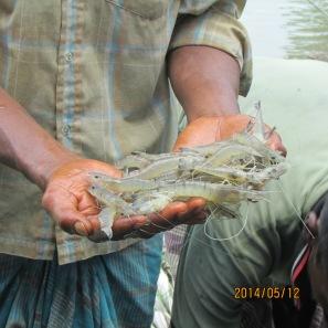 After harvest farmers demonstrate shrimp
