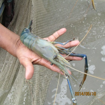After harvest farmers showing prawn