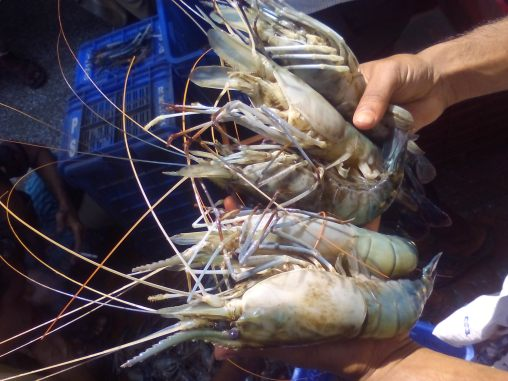Prawn before sell  at Khulna